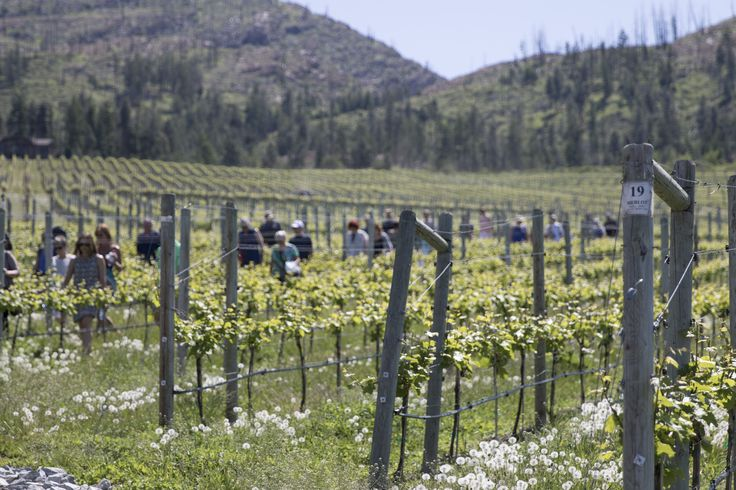Winemaker's Trail Event at CedarCreek Estate Winery in Kelowna, British Columbia. #ExploreBC #ExploreKelowna #ExploreCanada #Winery #WIne #Okanagan #BCVQA #vineyard