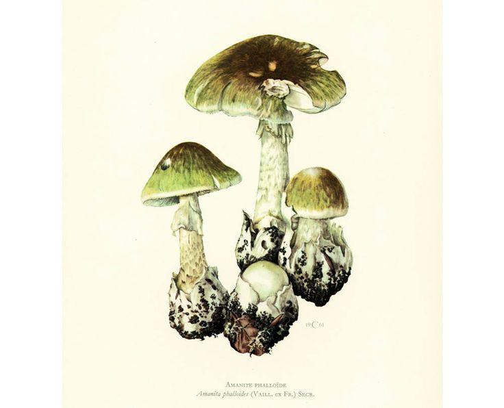 1962 Amanite Phalloïde Oronge Ciguë Planche Originale Identification Champignons Toxiques Vénéneux Illustrations Dessin Mycologie de la boutique sofrenchvintage sur Etsy