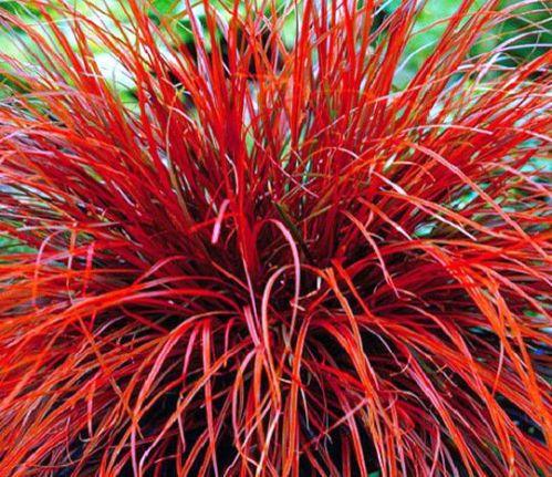5 x Uncinia rubra - Red Evergreen groundcover New Zealand Native Sedge Grass | eBay