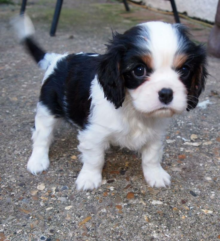 how much does a cavalier king charles puppy cost