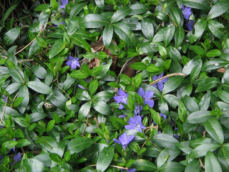 Maanpeittokasvit: Pikkutalvio on itse asiassa varpu. Sillä on puolukkaa muistuttavat paksut lehdet. Kukat valkoiset, siniset tai violetit. Lehdistä olemassa myös kelta-vihreä muoto. Rönsyilevä ja nopeakasvuinen: muodostaa yhdessä kesässä kauniin vihreän maton.