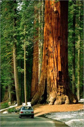 die besten 17 ideen zu mammutbaum auf pinterest eukalyptus deglupta regenbogeneukalyptusbaum. Black Bedroom Furniture Sets. Home Design Ideas