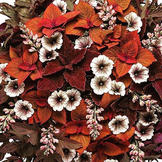 Loving this Gorgeous plant combo inspired by Marsala from #provenwinners. #Repost @provenwinners with @grabapp Marsala - the gorgeous color named Color of the Year for 2015 by Pantone - is a sensuous blend of deep purples, burgundy, and russet orange...i