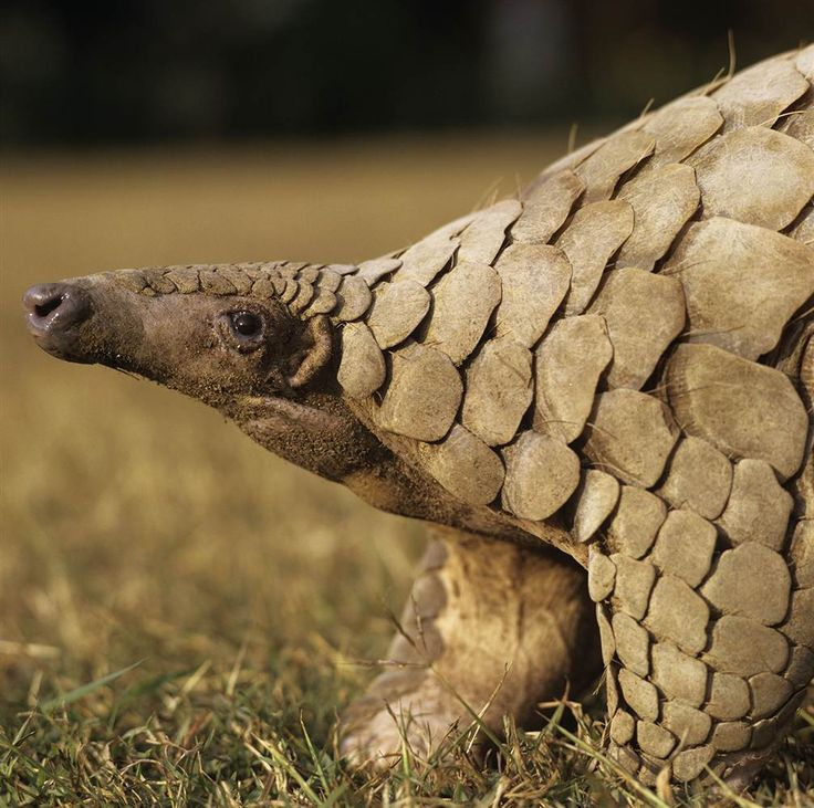 """A pangolin, also called a scaly anteater, is a mammal with large keratin scales covering its skin. It is the only known mammal with this covering. Found in tropical regions throughout Africa and Asia, the name comes from the Malay word pengguling, meaning """"something that rolls up"""". - Gerald Cubitt / NHPA via Photoshot -  TODAY.com"""