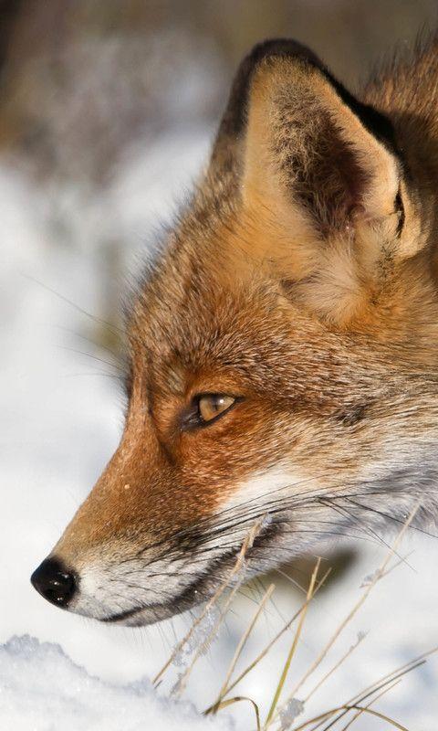Red Fox by Alex Verweij