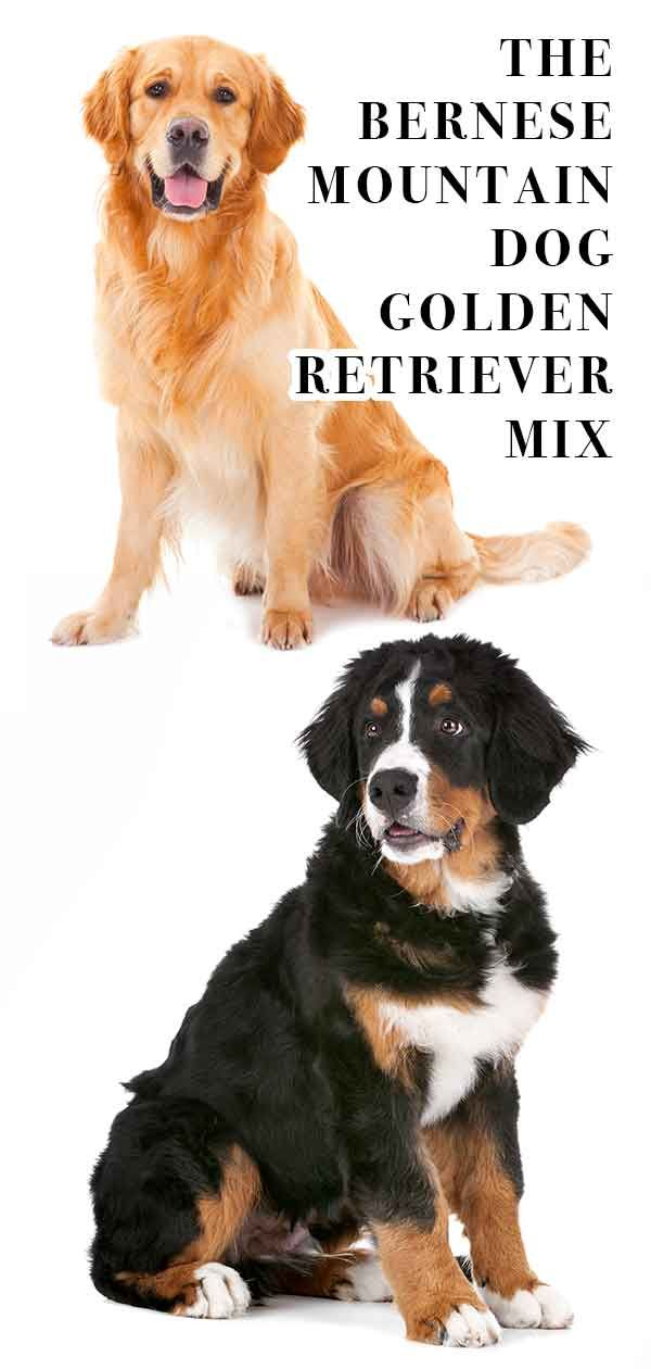 Bernese Mountain Dog Golden Retriever Mix Breed A Complete Guide