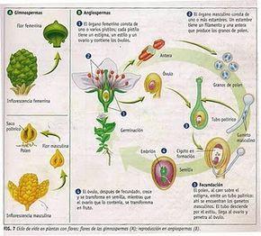 Cuaderno de Ciencias Naturales: ESQUEMAS EXPLICATIVOS DE LA REPRODUCCIÓN EN PLANTAS