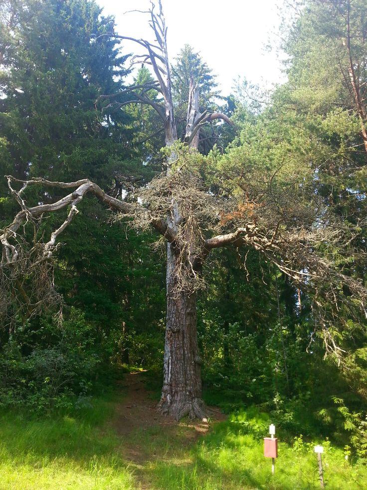 Holy tree / bearskull pine. Timi, Hämeenkyrö /Finland