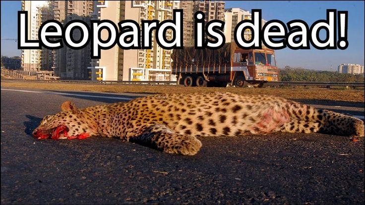 Most Amazing Wild Animal attacks   Leopard vs Pitbull. Leopard Attacks D...