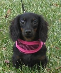 Fanny is an #adoptable Dachshund Dog in #Lebanon, #OHIO. Fanny is a long coat black & tan little girl.  She is 6 months old.  Shes a little love bug, absolutely adorable.  Fanny needs to be in a home with...
