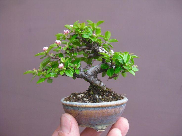 die besten 25 mame bonsai ideen auf pinterest bonsai baum preis mini bonsai und bonsai baum. Black Bedroom Furniture Sets. Home Design Ideas