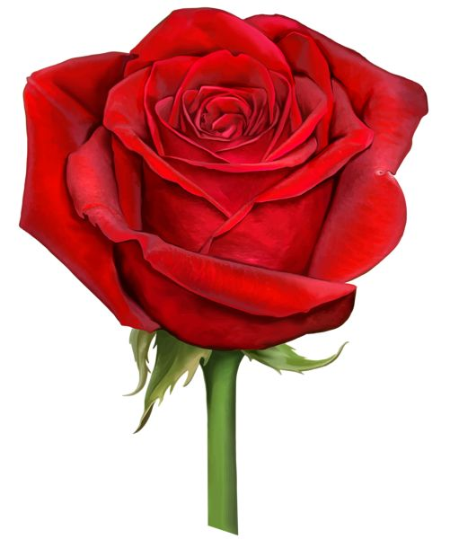 Red Rose Transparent PNG Clip Art