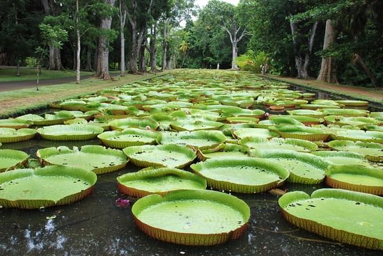 Giant lily pads at the Pamplemousses Botanical Gardens, Port Louis, Mauritius. Via TravelPod.
