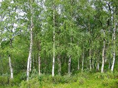 Betula pendula Silver Birch, European white birch, Common Birch, Warty Birch, European White Birch