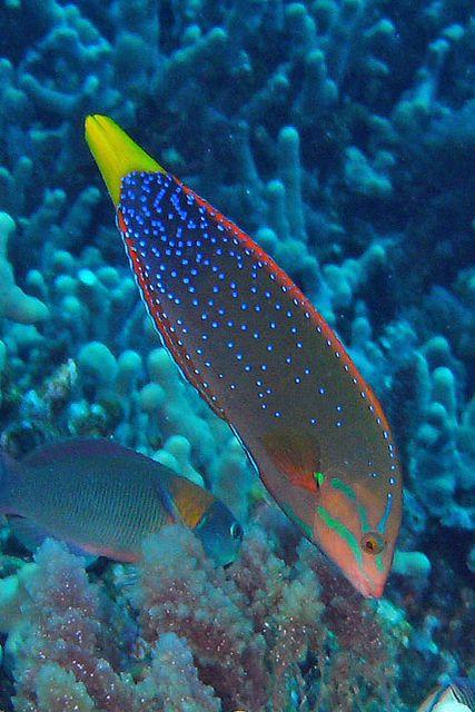 Yellowtail Coris  by BarryFackler, via Flickr