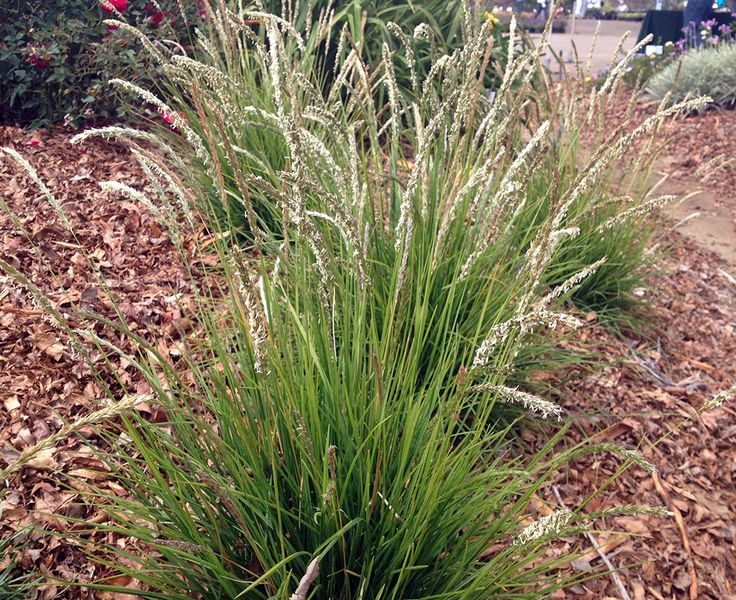 Sesleria autumnalis perennials pinterest for Ornamental grass that looks like wheat