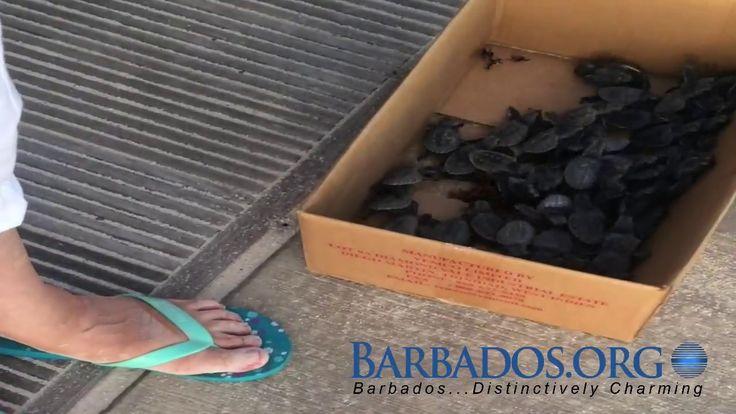 Barbados Sea Turtles Hatching on the Boardwalk
