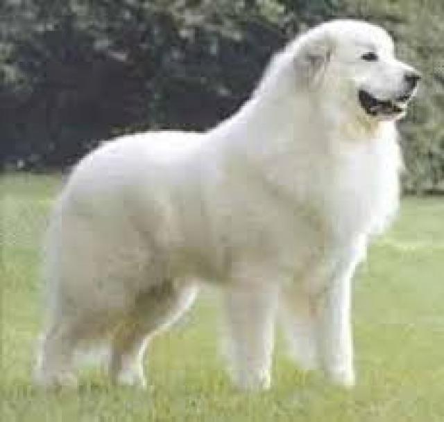 Resultado de imagen para perros labradores blanco