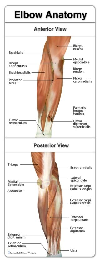 hand bone and tendon chart | MendMeShop.com | elbow anatomy