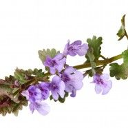 Get rid of a persistent cough today with ground ivy