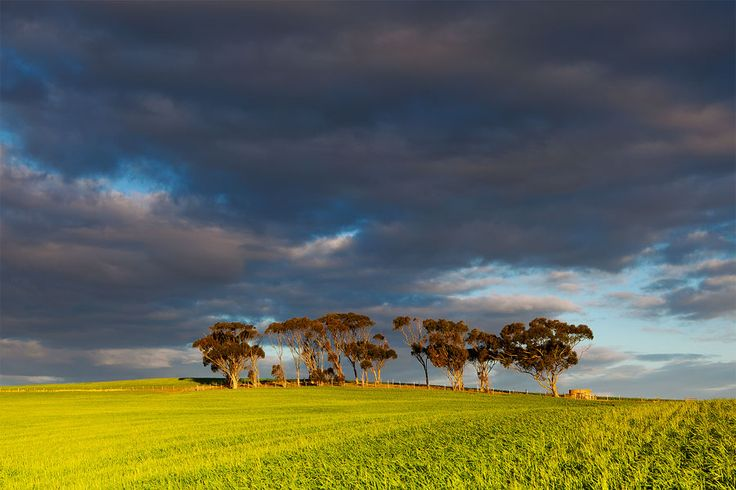 landscape photograph of a stand of trees on a hill below dark clouds in the overberg