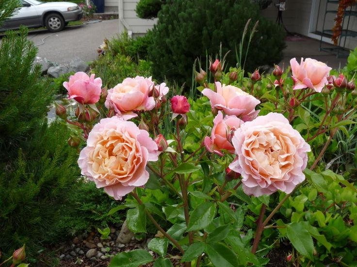 7 best r e rugosy images on pinterest roses rose photos and rose bush. Black Bedroom Furniture Sets. Home Design Ideas