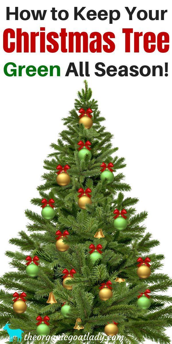 How To Keep Your Christmas Tree Alive Christmas Ideas Christmas Tree Care Christmas Tree Green Christmas Tree