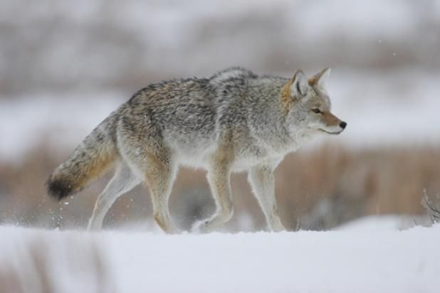 Shooting Tips: Keys to Long-Range Coyote Hunting | Field & Stream