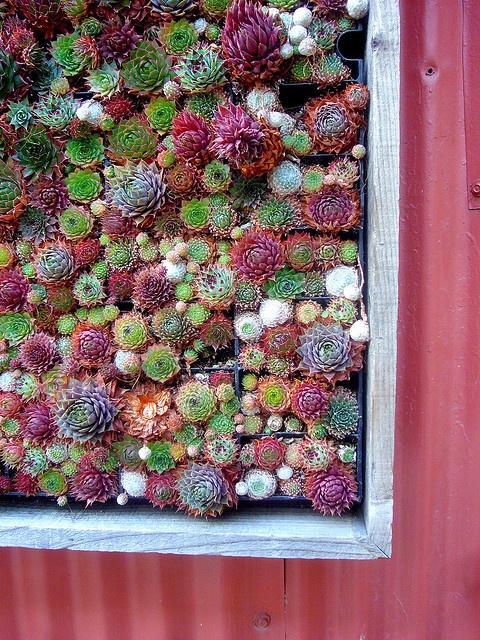 Succulents - davitydave