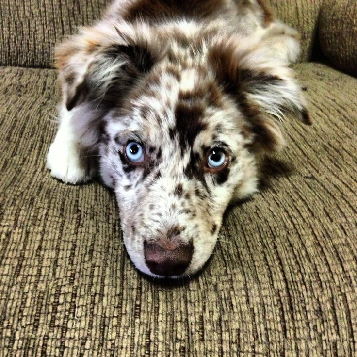 Aussie stare-down. Australian Shepherds. For more info visit http://australianshepherdcentral.com/