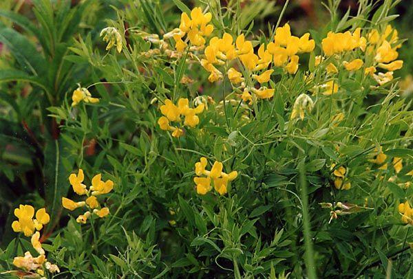Fjällflora: Gulvial, Lathyrus pratensis, Meadow Vetchling