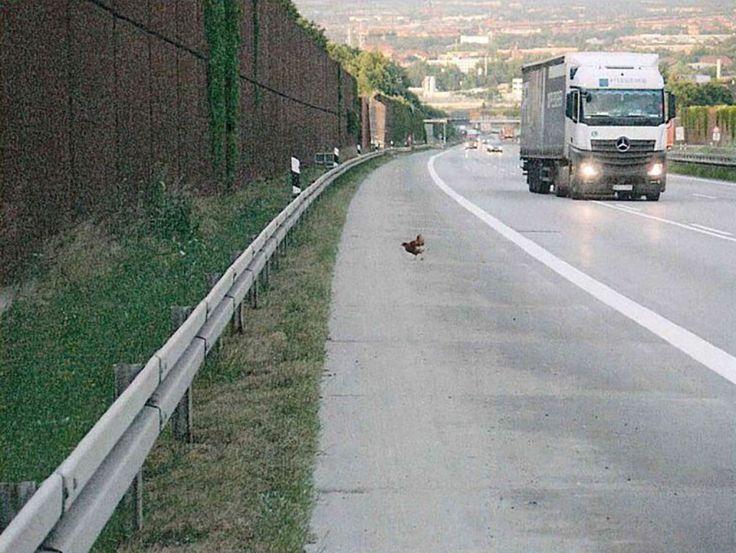 Ein Huhn spaziert auf der Autobahn. Daneben fährt ein Lkw vorbei.   Bildrechte: Polizeidirektion Dresden