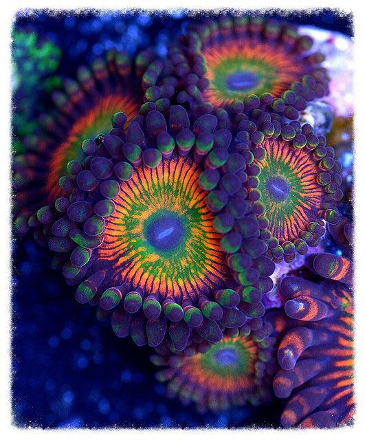 Purple, green and orange Zoanthids