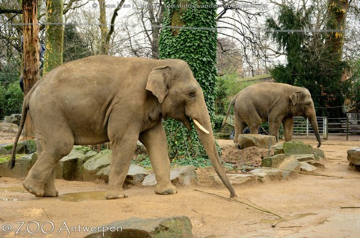 Aziatische olifant - Elephas maximus - Asian Elephant | by MrTDiddy