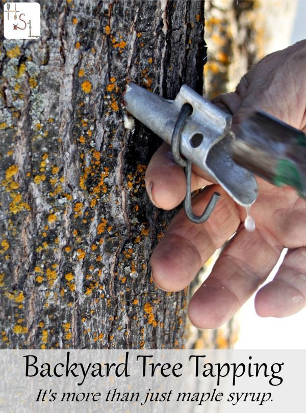 Backyard tree tapping is an easy and rewarding process from which the results are tasty homegrown and sweet syrup and it's so much more than just maple.