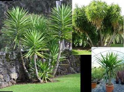 Yucca elephantipes - Palmier, Agave, Aloe, Yucca, Phormium, plantes exotiques- Pépinières Morbihan - Les Pépinières Eric Duval à MOLAC