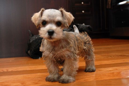 Miniature+Schnoodle | Miniature Mini Schnoodle http://purdypuppy.com/breeds/schnoodle/