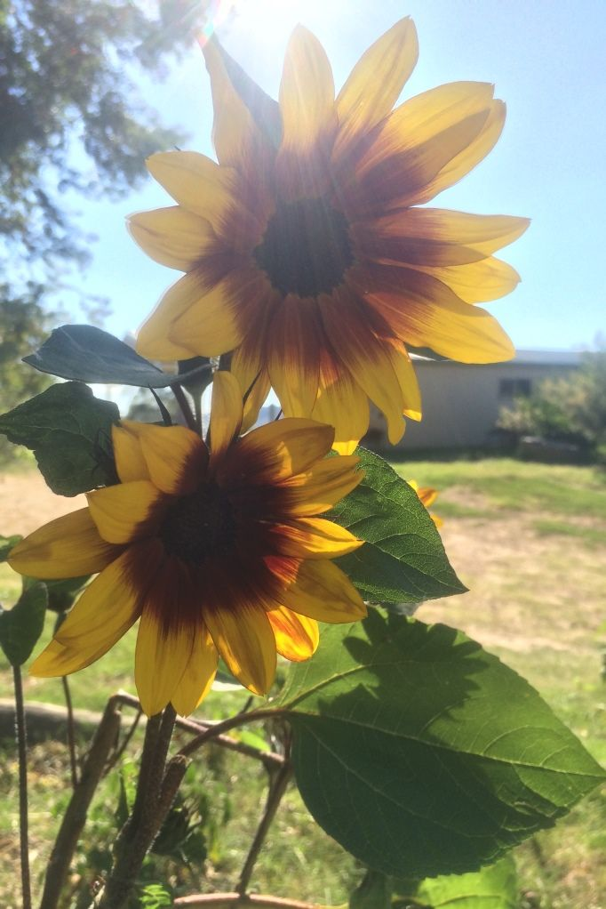 Sunflowers in the school garden on Orana Day