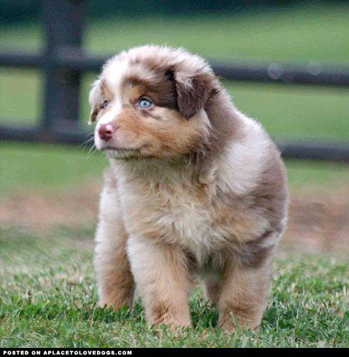 Gorgeous and fluffy Red Merle, Australian Shepherd puppy Koda