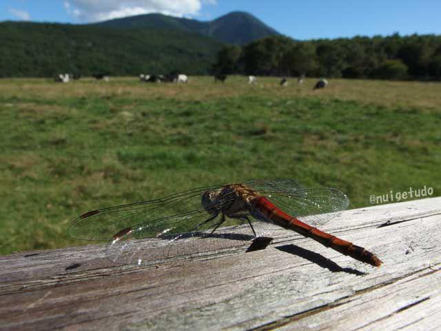 アキアカネ。秋の牧場にて。 http://blog.goo.ne.jp/nuigetudo-satoyama/e/0447a9ed4bfd2e4793dc8243c3a0fea0
