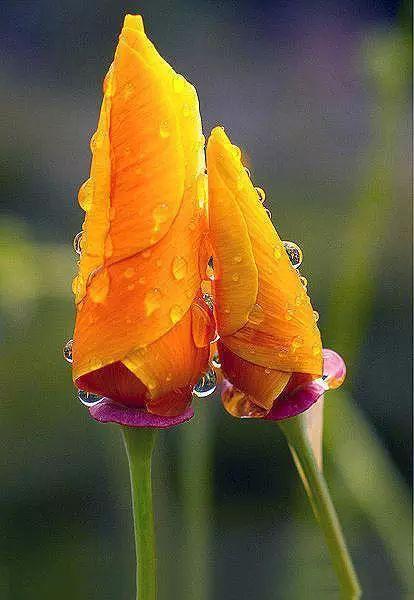 California State Flower - California Poppy.
