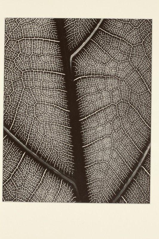Eugen Wiškovský: Nervatura listu, 1929
