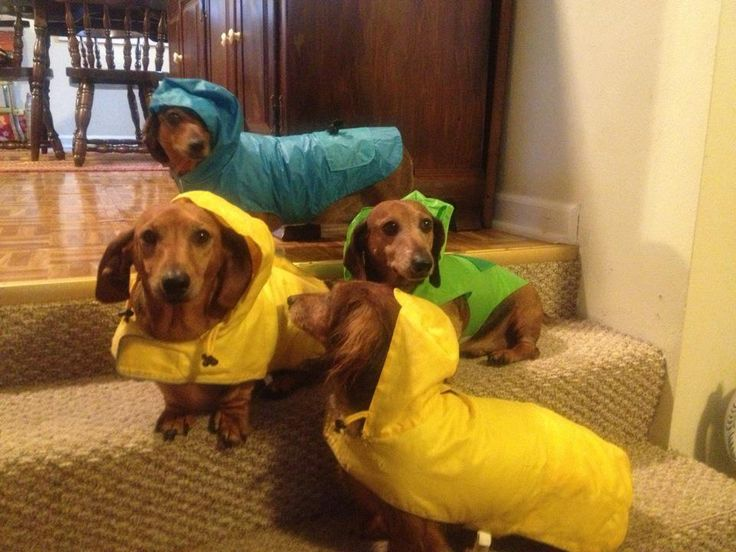 My weenies use protection.  They won't pee in the rain without their raincoats