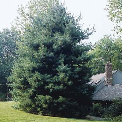 I loike this for the backyard - to balance out the neighbors group of evergreens