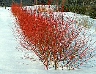 Bailey Red-Twig Dogwood is a fast growing, multi-stemmed, deciduous shrub with outstanding, bare red stems in winter. Flat topped clusters of tiny, white flowers are followed by white fruit in the summer that are particularly attractive to birds. Green leaves. Fall color is a showy reddish-purple. Once these shrubs become established, it's best to prune the top third off in early spring, as the best red color is found on the new growth. Alternatively, they may be cut to the ground every ...
