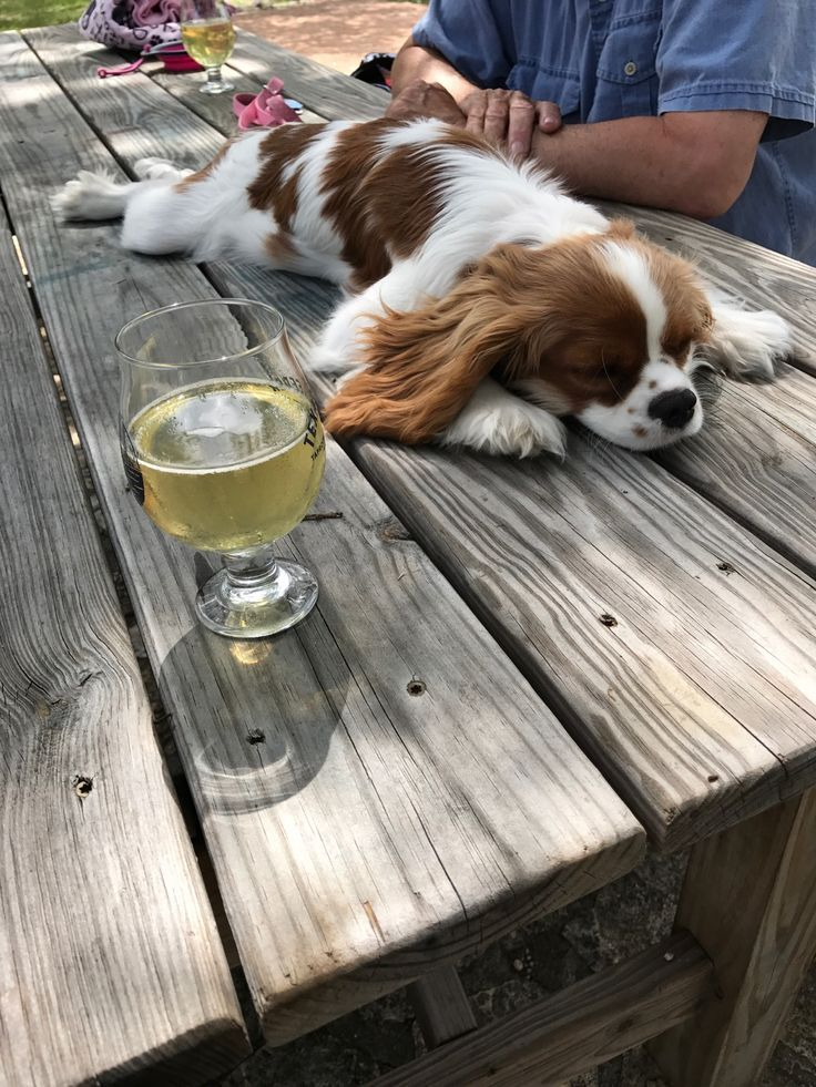 Kailee At A Cider Winery In Austin Tx King Charles Cavalier Spaniel Puppy Cavalier King Charles Spaniel Tricolor King Charles Dog