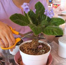 Restarting an African Violet, cut stem and place in water....just the very tip.  Look at every day and add more water if needed.  If stem is too deep in water may rot.  Most times this method will work.  Be sure to keep water clean and violet out of direct sunshine!  Will be ready to repot in fresh African Violet Soil once strong thick white mass of roots form in about 4-6 weeks.