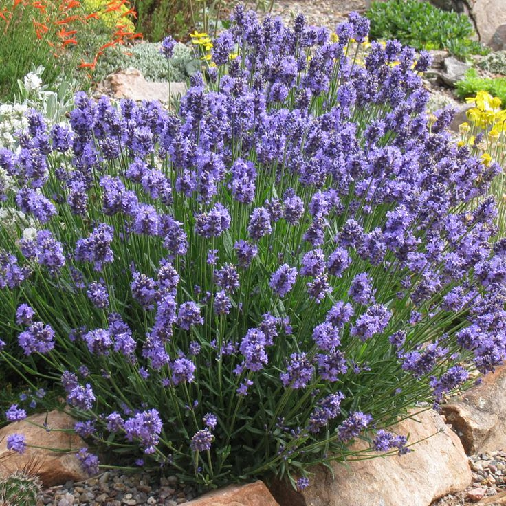 How to grow lavender. Learn to choose, plant and care for lavender, including French Lavender, English Lavender, Spanish Lavender.