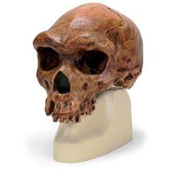 Anthropological Skull Model - Broken Hill or Kabwe #AnthropologicalSkullModel  #BrokenHillorKabwe http://www.gtsimulators.com/Anthropological-Skull-Model-Broken-Hill-or-Kabwe-p/vp754-1.htm