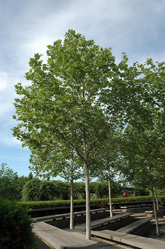 Exclamation! London Planetree (Platanus x acerifolia ...